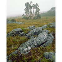 Pencil pines in mist near Lake Picone, Southwest National Park